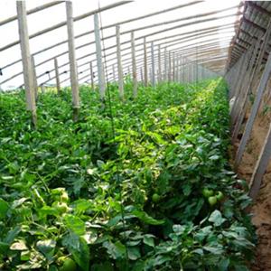 防虫网覆盖种植西红柿